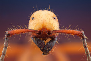 Formiga-de-correição (Gênero: Ection)