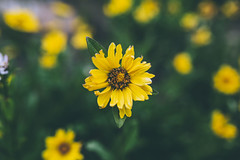 Albion Basin (Kesler Bear) Tags: city flowers sunset wild mountain lake mountains flower season utah ut salt canyon basin mtn albion mtns