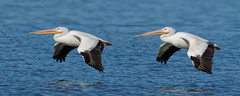 Late arrivals, still coming in. (dcstep) Tags: urban usa nature flying colorado flight pelican urbannature handheld allrightsreserved bif birdinflight americanwhitepelican cherrycreekstatepark copyright2015davidcstephens dxoopticspro1051 y6a9705dxosrgb