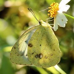 Ixias pyrene insignis (female) 異粉蝶 (雌) (YoyoFreelance) Tags: insignis pyrene ixias 雌白黃蝶 橙粉蝶 異粉蝶