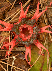 Asere rubra (Anemone stinkhorn) (John van de Geyn) Tags: brighton australia fungi queensland stinkhorn phallaceae arfp arffungi qrfp redarffungi asere subtropicalarf asererubra deckerpark stinkhornarffungi basidiomycetesarffungi