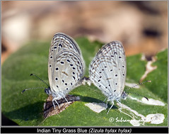 Tiny Grass Blue_variations (Wandering_one) Tags: macro closeup forest butterfly insect wildlife butterflies blues insects flyinginsect lycaenidae butterfliesofindia butterfliesofasia lepidopreta butterfliesofandhrapredesh