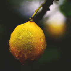 347 • 365 • IV (Randomographer) Tags: food plant tree green wet leaves rain yellow fruit project garden photography lemon natural acid grow delicious droplet hanging citrus 365 organic sour edible processed limone ripe limon citric nutritious rsl moist photographics 347 project365 لیمو