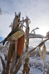 Winter treats ;) (Jeannette Greaves) Tags: corn frost cows hoarfrost hugh fencing jeannette 2015 cwdyellow rlpasture