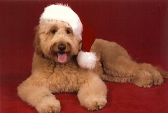 ho-ho-ho--too-cute--popcorn-is-one-of-princess-and-chewys-puppies-_4178041442_o