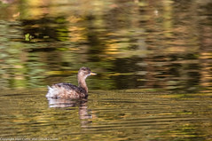 9Q6A8720 (2) (Alinbidford) Tags: alinbidford alancurtis brandonmarsh greyheron heron littlegrebe pochard blackheadedgull muteswan cormorant