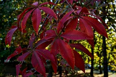 chestnut Autumn red leaves in a park DSC_1013 (Me now0) Tags: chestnut autumn redleaves park europe nikond5300 basiclens 1855mmf3556 afternoon     5300
