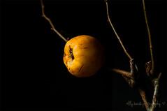 Sidelight (aenee) Tags: aenee black light mispel medlar yellow sidelight negativespace dsc2783 20161024 oneyearwiserclass magicunicornverybest