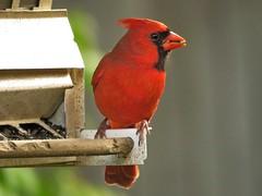 Cardinal (Photos by the Swamper) Tags: birds cardinal