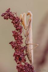 Mante religieuse (Mantis religiosa)-7 (lolo_31) Tags: mantis religiosa mantidae arthropoda hexapoda pterygota neoptera polyneoptera mantodea