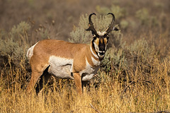 Pronghorn (Eric Gofreed) Tags: grandtetonsnationalpark jacksonhole pronghorn wyoming