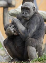 Calgary Zoo (michellern78) Tags: yyc zoo animal motherhood baby ape gorilla