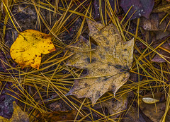 Fall Forest Floor. (Bernie Kasper) Tags: art berniekasper cliftyfallsstatepark cliftyfalls d600 fall forest floor hiking indiana jeffersoncounty light leaves leaf madisonindiana macro madisonindianacliftyfallsstatepark madison nature nikon naturephotography new outdoors outdoor old poplar mapleleaf oak pineneedles pine raw plant plants sigma statepark brown travel tree trees trail