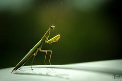 DSC_7101 (torzsokrobert) Tags: rovar insect imádkozó sáska mantis