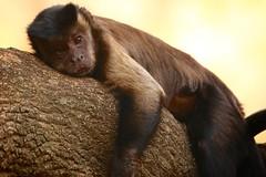 take five (peet-astn) Tags: monkey bushbabiesmonkeysanctuary rest resting tree branch takefive depressing depressed