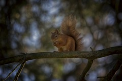 Red Squirrel (markstrachan1) Tags: united kingdom scotland red branch colour squirrel