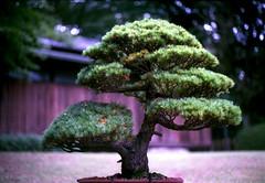 Bonsai at Meiji Jingu Garden (gracejonathan) Tags: bonsai praktica yashinon fuji fujisuperiapremium400 film analog superiapremium400 tokyo meijijingugarden