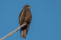 Black Kite Beauty DSC_8873 (BlueberryAsh) Tags: black kite blackkite bird raptor birdsofprey australianbird darwin topendbird topend wildlife