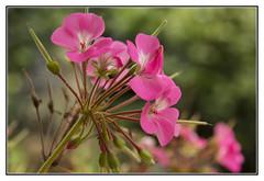 Nearly at the End (Audrey A Jackson) Tags: canon60d geranium petals stamens nature macro closeup colour garden 1001nightsmagiccity