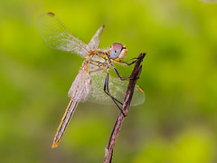 hembra sobre amarillo verdoso (Santi BF) Tags: sympetrumfonscolombii sympetrum libélula libèl·lula dragonfly odonato odonata anisóptero anisoptera aproximación macro closeup