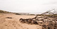 FALLEN TREE on BEACH at SPURN, E YORKSHIRE_DSC_1527_LR_2.0 (Roger Perriss) Tags: spurn beach estuary sea tree debris d750 sand sanddunes wildness wild deserted fallentree mudflats spurnhead peninsula