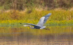 7K8A4796 (rpealit) Tags: scenery wildlife nature hyper humus newton great blue heron bird