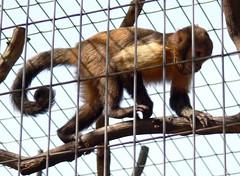 Zoo Ffm Gelbbrust-Kapuziner (Sapajus xanthosternos) P1020105 (martinfritzlar) Tags: zoo frankfurt tier sugetier affe kapuziner gelbbrustkapuziner cebidae sapajus xanthosternos monkey goldenbellied capuchin