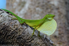 Lagarto verde en El Cantil Ecolodge Nuqui Colombia (memogofe) Tags: lagarto verde en el cantil ecolodge nuqui colombia