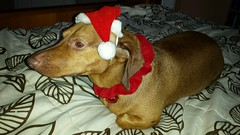 20151222_163904 (rolyrol1982) Tags: dachshund dog merry xmas christmas happy canine santa claus hot weiner red eye green snout nose hat