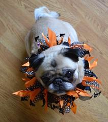 Pug Happy Halloween! (DaPuglet) Tags: pug halloween pugs dog dogs animal animals pet pets costume
