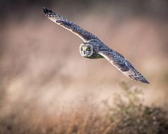 Short-Eared Owl (mLichy911) Tags: shorteared owl raptor bird flight action bif nature wild wildlife portrait canon 7dmarkii 500f4 bokeh winter pnw wa seattle flying soar