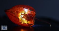Lampionblume (Physalis alkekengi) (1) (Enjoy my pixel.... :-)) Tags: nacht lampion blume licht gegenlicht