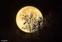 2016-11-14 The largest SuperMoon since 1948, 03 (zwzzjim) Tags: moon ethnic intangible mooncake dynasty ancient lunar circle round full abstract texture supermoon outdoor tree trees autumn