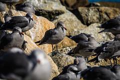 Seagulls (ssmbbrian) Tags: pointlobos