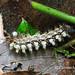 San Agustin Archaeological Park - caterpillar