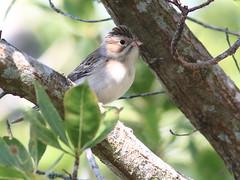 Clay-colored Sparrow 02-20161117 (Kenneth Cole Schneider) Tags: florida miramar westbrowardwca
