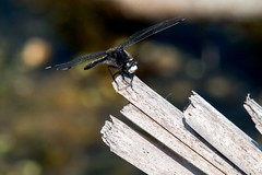 2016  Dot-tailed Whiteface (Leucorrhinia intacta) 14 (DrLensCap) Tags: dottailed whiteface leucorrhinia intacta moraine hills state park mchenry illinois o bug insect dragonfly dragon fly robert kramer