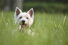 -Sunday West Highland White Terrier (Sam's Photography Life) Tags:  west highland white terrier dog canon pet nature 1dx 1d 100400          smile sweet