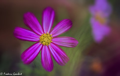 Flower stars of Autumn (frederic.gombert) Tags: light sun cosmos flower sunlight red pink purple macro color colors colorful nikon d810 plant flowers garden autumn outside