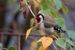 chardonneret lgant ( Carduelis carduelis ) Auray 161116y2 (pap alain) Tags: oiseaux passereaux fringillids chardonneretlgant europeangoldfinch auray morbihan bretagne france cardueliscarduelis