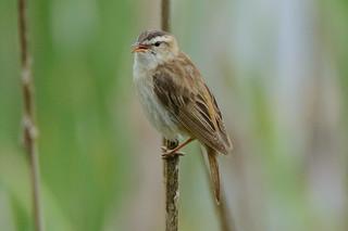 Sedge warbler - Acrocephalus schoenobaenus - Finnish: Ruokokerttunen