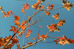 SAM_1855 (falcon170ct) Tags: autumn fall leaves redoak