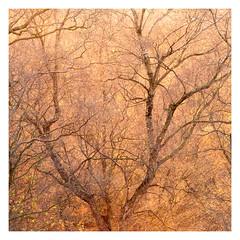 Autumn's Last Glow (richjjones) Tags: autumn tree golden glow light sunset silverbirch nature worcestershire malvern branch trunk