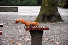 drinking (JoannaRB2009) Tags: parkimksiciajzefaponiatowskiegowodzi squirrel animal drinking water park autumn fall rain wet nature d lodz polska poland