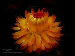Gorgeous Star (SeattleHVAC172) Tags: australian native flower nature macro orange melbourne golden gardens yellow paper dark background everlasting gorgeous star