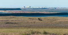 Caribou at Deadhorse (Bonnie Ott) Tags: deadhorsecamp alaska deadhorse dead horse arctic caribou oilpipeline