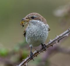 DSC7462  Shrike.. (jefflack Wildlife&Nature) Tags: redbackedshrike shrikes shrike birds avian animal wildlife wildbirds woodlands heathland hedgerows moorland meadows countryside copse nature