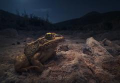Sahara Frog (Pelophylax saharicus) (Kristian Bell) Tags: laowa 15mm macro wideangle sony a7r morocco frog wild wildlife animal fauna 2016 kris kristian bell amphibian sahara pelophylaxsaharicus
