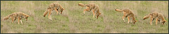 coyote pounce sequence 2 (matt knoth) Tags: coyote pounce sequence wildlife point reyes wild dog