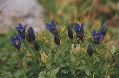 Gentiana 4, Laverty Lakes, Eagle Cap Wilderness 2016 (Sara J. Lynch) Tags: sara j lynch eagle cap wilderness wallowas eastern oregon laverty lakes francis bowman trail lake gentiana gentian flower wildflower purple flowers wildflowers alpine nikon 35mm film